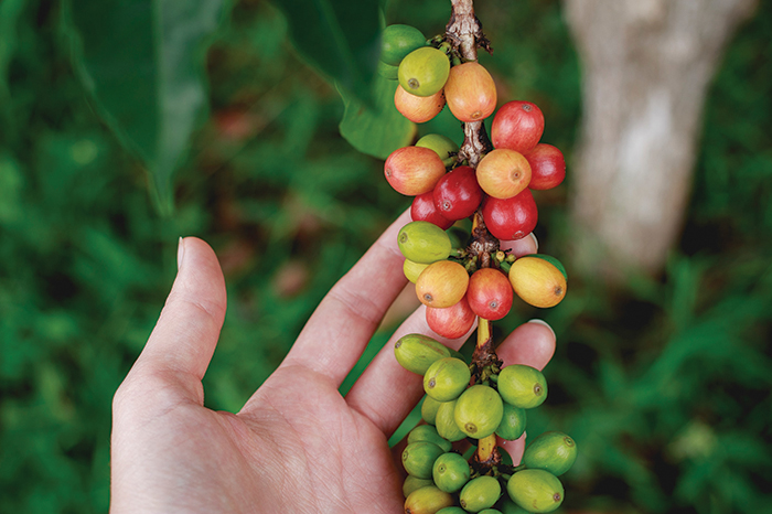 Coffee beans plant_gafencu coffee beans the best in the world